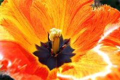 Tulip Color Cascade. Tulip opens its Petals to the bright Sunshine Stock Photos
