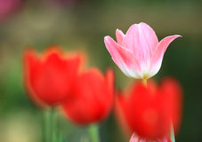Tulip color pink Royalty Free Stock Photos