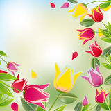Tulip colorful background Stock Photos