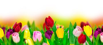 Tulip colorful flower panoramic border on white. Greeting card background Stock Image