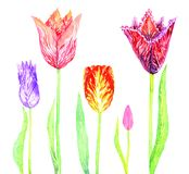 Tulip colorfull flowers variety set. Tulip variety solated on white background, hand painted watercolor illustration Royalty Free Stock Image