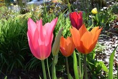 Tulip Colors Variety Stock Afbeelding