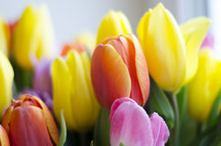 Tulip colour close up. Close up colourful tulips. Focused Royalty Free Stock Photos