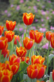 Tulip. Colourfull tulip can growth in Chiangrai, thailand Royalty Free Stock Photography
