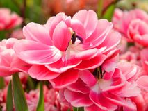 Tulip Columbus, reddish-pink edged white Stock Images
