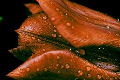 Tulip com pingos de chuva Fotografia de Stock Royalty Free