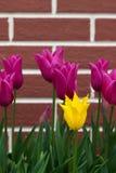 Tulip Concept Royaltyfria Bilder