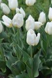 Tulip Coquette royaltyfria foton