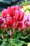 Tulip cor-de-rosa Foto de Stock