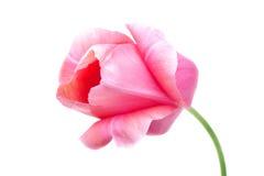 Tulip cor-de-rosa Fotos de Stock