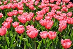 Tulip cor-de-rosa Imagem de Stock Royalty Free