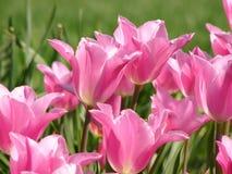 Tulip cor-de-rosa Imagens de Stock Royalty Free