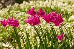 Tulip cor-de-rosa Imagens de Stock