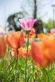 Tulip cor-de-rosa fotografia de stock