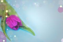 Tulip cor-de-rosa Foto de Stock Royalty Free
