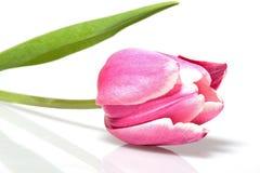Tulip cor-de-rosa de florescência Fotografia de Stock Royalty Free