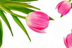 Tulip cor-de-rosa em um fundo branco imagem de stock