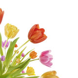 Tulip Corner. Spring tulips on white background Royalty Free Stock Images