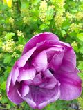 Tulip. Crimson tulip flower Royalty Free Stock Photo