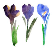 Tulip and crocus Stock Image