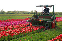 Tulip cultivation Stock Images