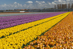Tulip culture, Holland Stock Photos