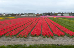 Tulip culture, Holland Royalty Free Stock Photography