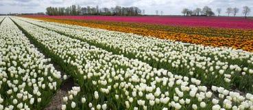 Tulip Culture, Nederland stock foto's