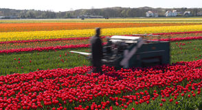 Tulip culture, Netherlands. Field of tulip culture, Netherlands Stock Images