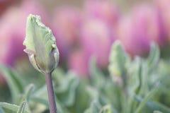 Tulip da alfazema imagens de stock royalty free