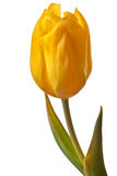 Tulip da mola Imagem de Stock Royalty Free