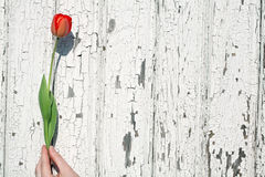 Tulip da terra arrendada da mão Fotos de Stock