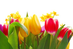 Tulip and daffodil Stock Image