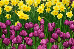 Tulip and daffodil field Royalty Free Stock Photography