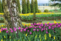 Tulip and Daffodil Flower Garden. Pink tulips and yellow daffodils straddling a split rail fence in a garden on a farm stock photos
