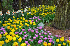 Tulip and daffodil garden in grove Stock Photography