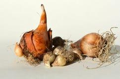 Tulip, daffodil, Ornithogalum bulbs -  perennial flowers Royalty Free Stock Image
