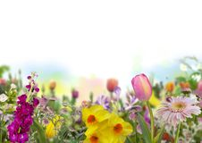 Tulip, daffodils and defocused colored flowers in spring garden with white background stock photos