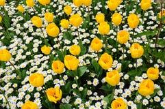 Tulip and daisy Stock Photos