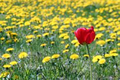 Tulip and Dandelions. A tulip in a field of dandelions stock image