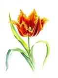 Tulip Davenport Terry roja con los bordes amarillos Bosquejo de la acuarela, aislado Imagen de archivo