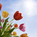 Tulip Day. Spring tulips on sunny sky background Stock Image