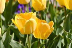 Tulip Daydream Tulipa, Liliaceae, flores en primavera foto de archivo