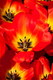 Tulip Detail. Red tulips detail on spring time Stock Photo