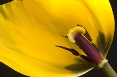 Tulip Detail. Detail of inside of tulip Royalty Free Stock Photos