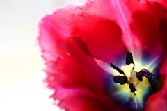Tulip detail. A closeup of a beautiful purple tulip, focus on the insides of the flower stock image