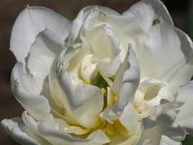 Tulip Detail blanca doble en luz del sol foto de archivo