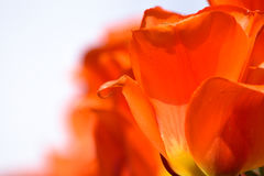 Tulip detail Stock Photo