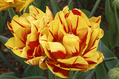 Tulip. Detail of a special red and yellow tulip in a field Royalty Free Stock Photo