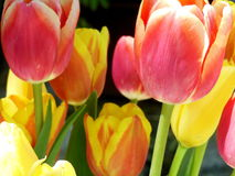 Tulip details. Close up of yellow and orange tulips Royalty Free Stock Image